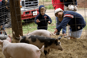 petting the pigs 300x200