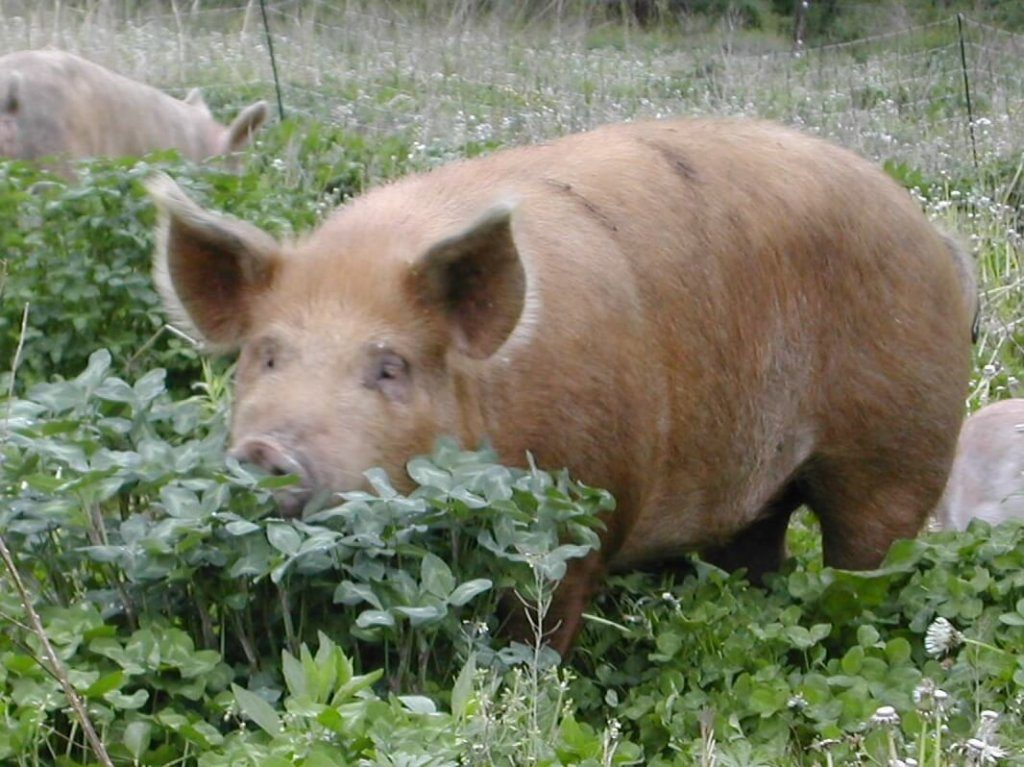 big-pig-grazing-cut